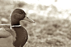 Duck. Classic photo of a duck Stock Images