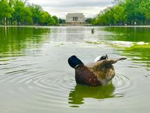 A duck clean feather at reflecting pool in Washington DC. In front of Lincoln memorial on a cloudy day royalty free stock images