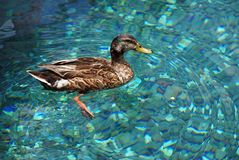 Duck in clean water. A duck swimming in the clean water. Taken in sea world, Orlando, Florida Stock Photography