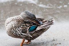 Duck Cleaning royalty-vrije stock afbeeldingen