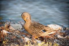 Duck cleaning feathers. A wild duck cleaning it's feathers Royalty Free Stock Image