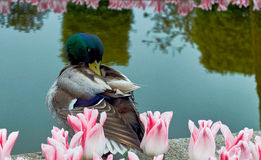 Duck cleaning its feathers. Duck near a river surrounded by tulips cleaning up its feathers Royalty Free Stock Photography