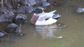 Duck cleaning its feathers stock footage