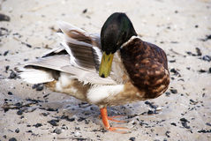 Duck. Cleaning itself with his beak Royalty Free Stock Photos