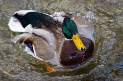 Duck Cleaning Plumage Royalty Free Stock Photo