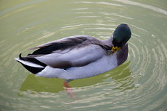 A duck cleans feathers in a green water pond. Stock Photo