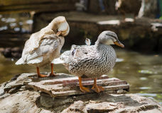Duck cleans feathers. Duck near the pond cleans feathers Royalty Free Stock Photography