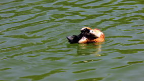 Duck cleans feathers stock video footage