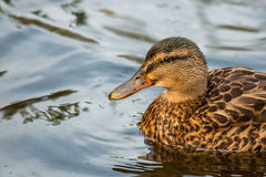 Duck on clear water Stock Image