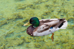 Duck. In the clear waters of Plitvice Lakes swim wild ducks Stock Image