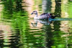 Duck@~CLICK~ SHUBH Lizenzfreie Stockfotos