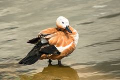 Duck with clipped wings stands in the water of a pond. Royalty Free Stock Image