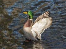 Duck Close Photo stock