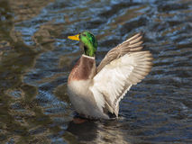 Duck Close acima Foto de Stock