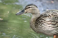 A duck walks in the spring in a puddle, one duck. royalty free stock photos