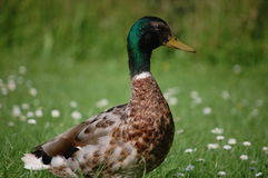 Duck Close Stock Images