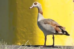 Duck Close omhoog Royalty-vrije Stock Afbeelding