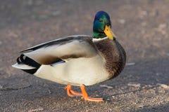Duck Close para arriba Imagenes de archivo