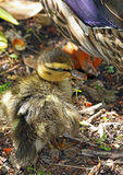 Duck. Close Up Detail Of Baby Mallard Duckling Royalty Free Stock Photos