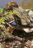 Duck. Close Up Detail Of Female Mallard and Duckling Royalty Free Stock Photo