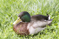 Duck close up image. On green grass Royalty Free Stock Image