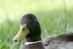 Duck close up image. On green grass Stock Images