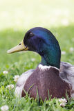 Duck close up image. Duck close up image on green grass Royalty Free Stock Images