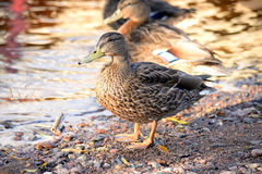Duck close up. Single female duck close up Royalty Free Stock Image