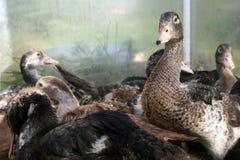 Duck Stock Photo