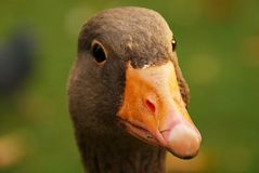 The Duck Royalty Free Stock Images