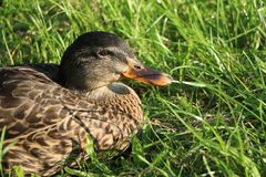 Duck closeup. Duck sitting in the grass in the sun Royalty Free Stock Images