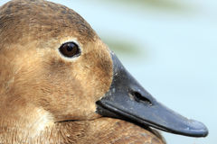 Duck Closeup Royalty Free Stock Image