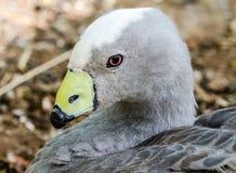 Duck Closeup hermoso Imágenes de archivo libres de regalías