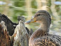 Duck swimming on a lake. Duck closeup while she was swimming on a lake Stock Photo