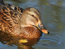 Duck swimming on a lake stock images