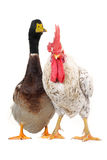 Duck and cock Royalty Free Stock Photography