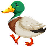 A duck. Colorful duck on white background royalty free illustration