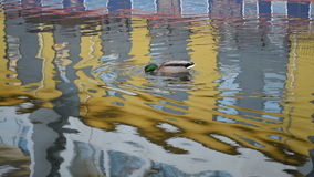 Duck stock footage