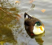 Duck, colourful, in calm river water. royalty free stock photography