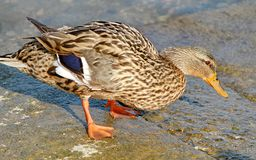 Duck Colvert Stock Photography