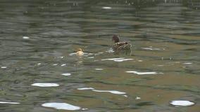 Duck com um patinho amarelo pequeno, flutuando filme