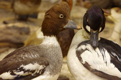 Duck common goldeneye taxidermy. Objects Royalty Free Stock Photo