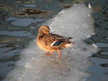 A duck waddles on a sliver of ice on a river. Duck is the common name for a large number of species in the waterfowl family Anatidae, which also includes swans stock photography