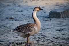 Duck. Is the common name for a large number of species in the waterfowl family Anatidae which also includes swans and geese. s are divided among several royalty free stock image