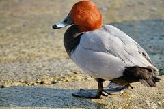 Duck Common Pochard Fotos de archivo