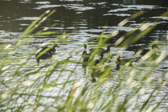 Duck. A common duck in an urban pond Stock Photography