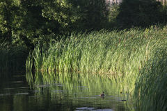 Duck. A common duck in an urban pond Royalty Free Stock Photography