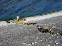 Duck con gli anatroccoli vicino all'acqua su calcestruzzo fotografia stock libera da diritti