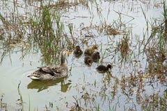 Duck con los anadones en el lago verde en Furnas Imagenes de archivo