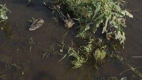 Duck con los anadones en el paseo que flota en el agua de la charca Armonía de la naturaleza almacen de video